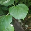 Large-leaved Lime tree