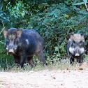 Indian Wild Boar