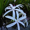 American Crinum Lily
