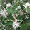 White honeysuckle bush