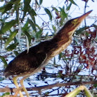 Green Heron Fledgling with a Dragon Fly Meal