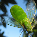 Large Bottle Cicada (in spider's web)