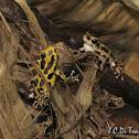 Poison Dart Frog Courtship