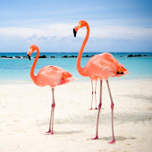 Flamingo Live Wallpaper