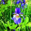 Harlequin Blueflag Iris
