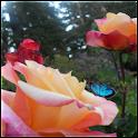 Butterfly Roses Live Wallpaper logo