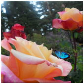 Butterfly Roses Live Wallpaper