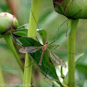 Crane Fly or Mosquito Hawk