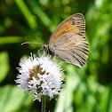 Ochsenauge / Meadow Brown