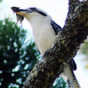 Laughing Kookaburra with mouse