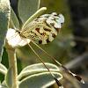 Greek lacewings