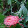 Giant Shield Bug Nymph