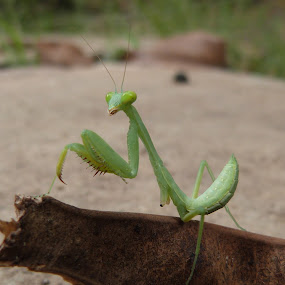 Green Insect by Vaibhav Shende - Animals Insects & Spiders ( green insect )