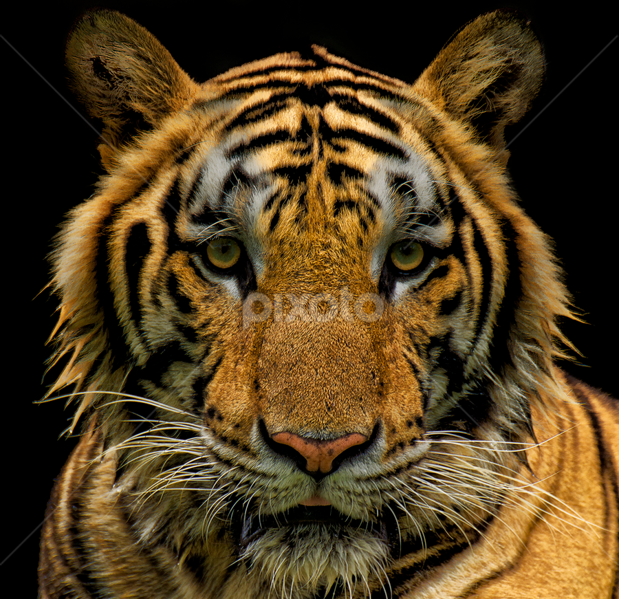 Eye of the Tiger by Charliemagne Unggay - Animals Other Mammals ( mammals, orange, wild, animals, tiger,  )