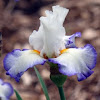 Tall Bearded Iris 'Queen's Circle'
