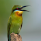 blue tailed bee eater 4.jpg