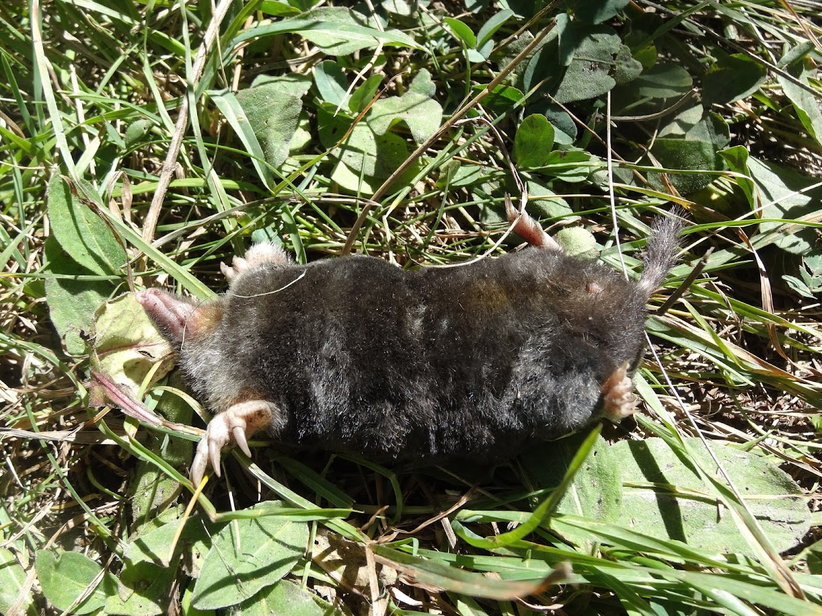 European mole (dead)
