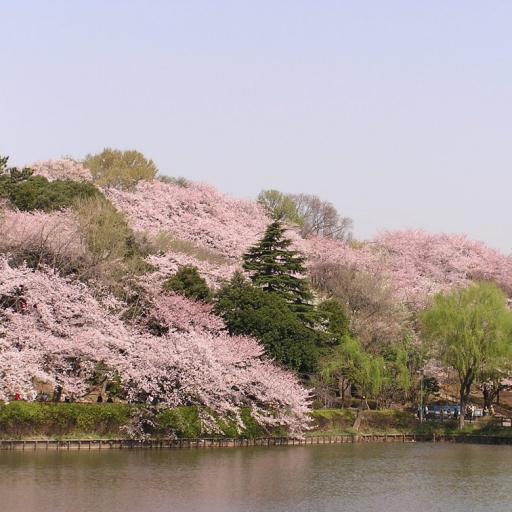 神奈川県:三ツ池公園の桜(JP022) 旅遊 App LOGO-硬是要APP