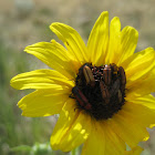 Ant-like Flower Beetle