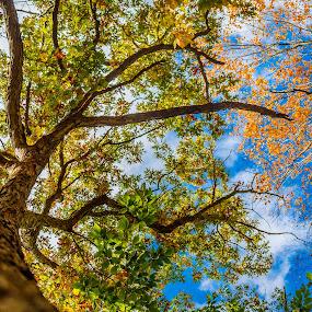 Fall Trees by Olga Gerik - Nature Up Close Trees & Bushes ( sky, tree, fall, yellow leaves )