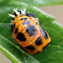 Harlequin Ladybug Pupa