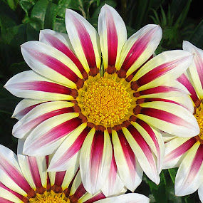 Gazania by Gordana Cajner - Flowers Flower Gardens (  )