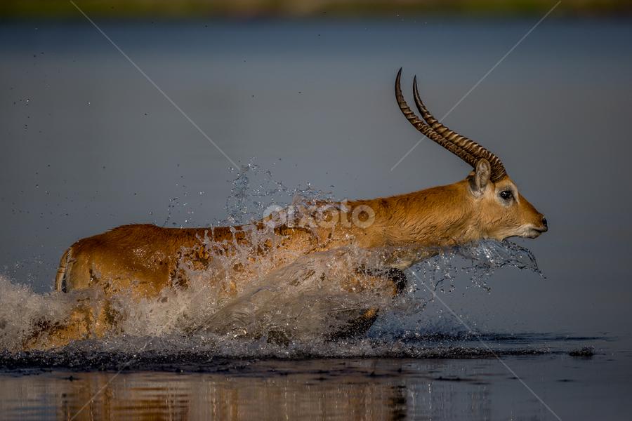 Ledcwe  by Lourens Lee Wildlife Photography - Animals Other ( animals,  )