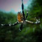 orb waeving spider