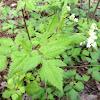 Cut leaf toothwort
