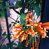 Flame trumpet, Flame vine, Orange trumpet