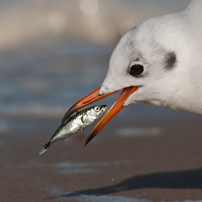 Hello Lunch! by Robert van Brug - Animals Birds ( hunger, gull, fish, eat, beach,  )