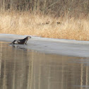 Northern Otter