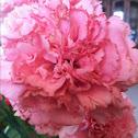 Carnation flower