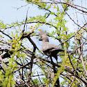 Grey Go-Away-Bird / Lourie