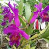 Catleya Orchid