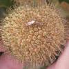 Seed Bug - Lygaeidae