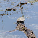 Red-eared slider turtle