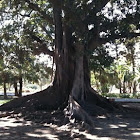 Moreton Bay Fig (Ficus macrophylla)