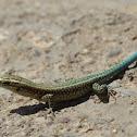 Oertzeni's Rock Lizard