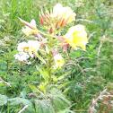 Large flowered Evening primrose