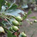 Espino majuelo - Common hawthorn