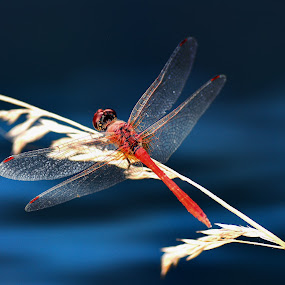Red beauty by Wendy Clee - Animals Insects & Spiders ( macro, nature, akyaka, turkey, dragonfly, close up, nikon d90,  )