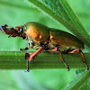 Golden Stag Beetle (♂)