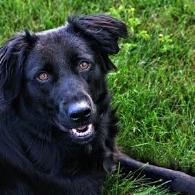 Obedience by Richard Moyen - Animals - Dogs Portraits ( waiting, laying, staying, dog, black )