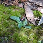 Common Bird Orchid