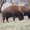 American bison or Plains bison
