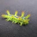 Caterpillars - Limacodidae