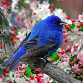 Singing Birds HD Wallpaper