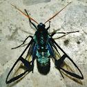 Polilla Avispa Azul(Blue Wasp Moth)