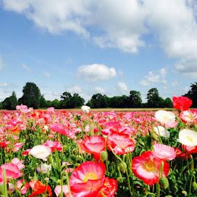 Poppies everywhere! Coburg, OR by Dorothy Valine Gram - Uncategorized All Uncategorized (  )